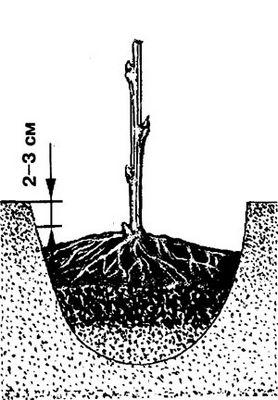 Как посадить малину