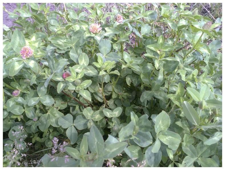 Клевер кормовой выращивание 46