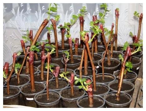 Укоренение черенков винограда - Agrodelo